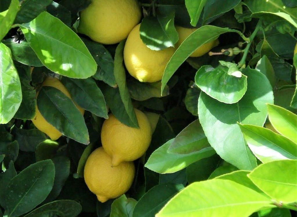 Citrons - Simi Valley