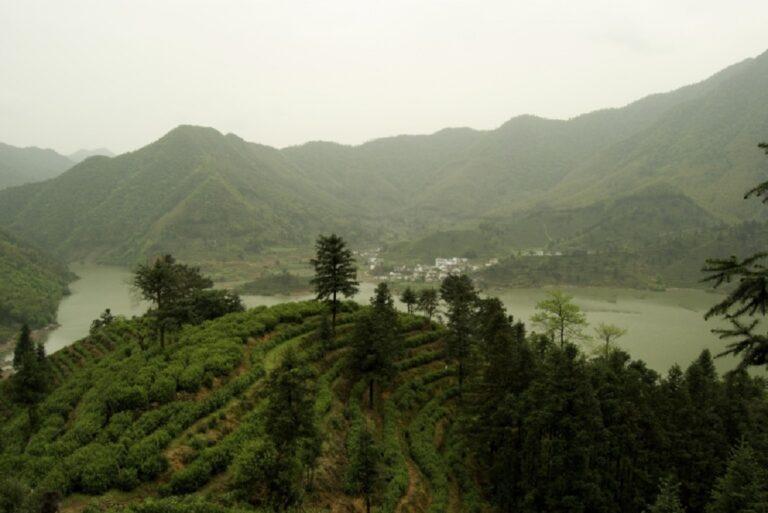 Cultivation du thé